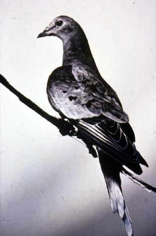 Martha the last passenger pigeon. 1912.