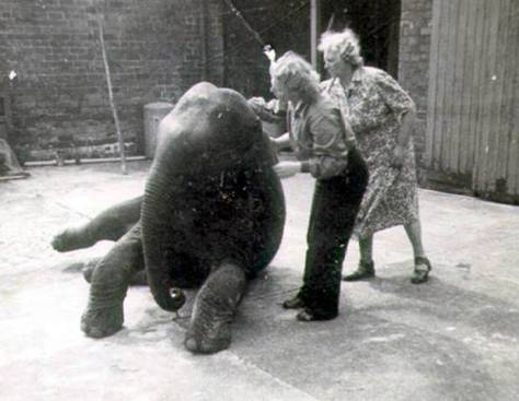 Baby elephant, Sheila, who was moved out of Belfast zoo because of fears of a hit from bombers during the Belfast Blitz of 1941.ele2