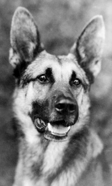 Strongheart, a German Shepherd, was born on the 1st of October, 1917. Originally trained as a police dog for Germany in World War One, he went on to become a movie star.