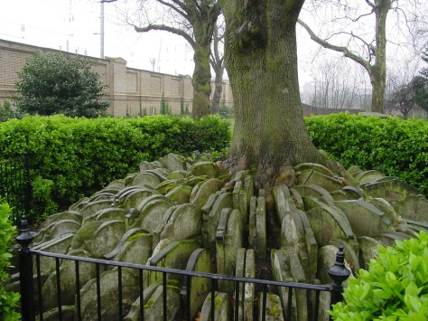 The Hardy Tree in the churchyard of St Pancras Old Church, growing up between gravestones moved there while Thomas Hardy was working here. London Victorian Era.